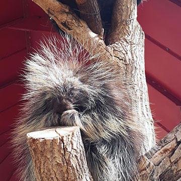 North-American-Porcupine.jpg