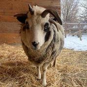 Jacob-sheep.jpg