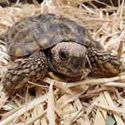 African-pancake-tortoise.jpg