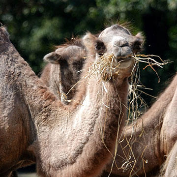 Dromedary-CAMEL.jpg