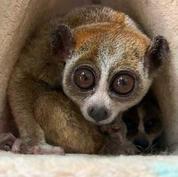 Pygmy-slow-loris.jpg