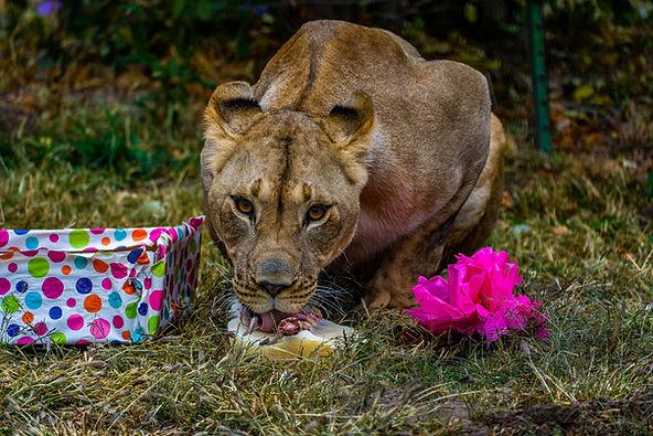 lion-6.jpg