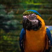Blue-and-yellow macaw.jpg