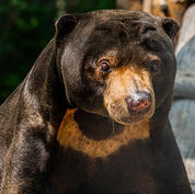 Malayan-sun-bear.jpg