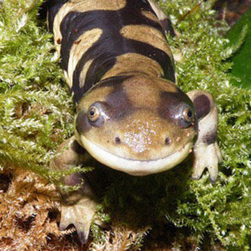 Tiger-Salamander.jpg