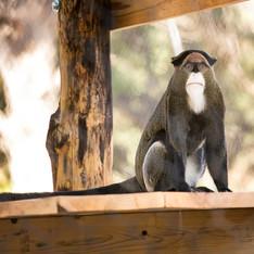 DeBrazza's Monkeys