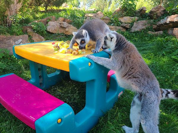 lemur picnic.jpg