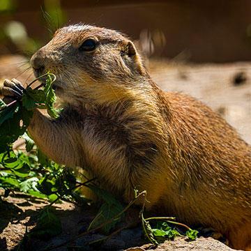 Black-tailed-prairie-dog.jpg