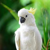 Lesser Sulphur Crested Cockatoo.jpg