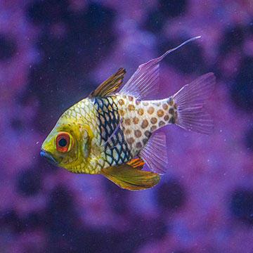 Fish-Pajama-cardinalfish.jpg