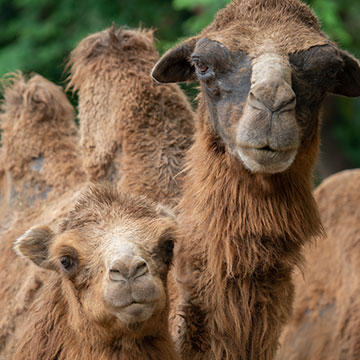 Domestic-Bactrian-camel.jpg