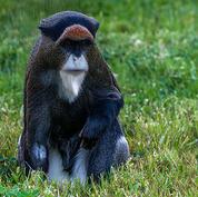 De-Brazza's-monkey.jpg