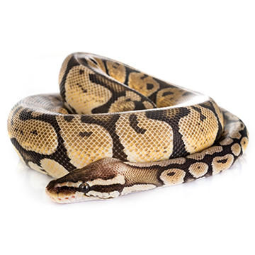 ball python.jpg