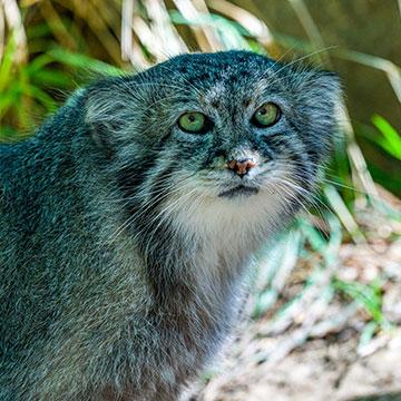 Pallas's-cat.jpg