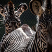 Grevy's-zebra.jpg