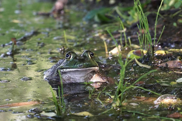 Amphibian banner image NEW.jpg