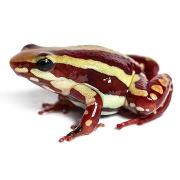 Anthonys poison arrow Frog.jpg