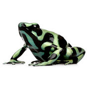 Green and Black poison arrow frog.jpg