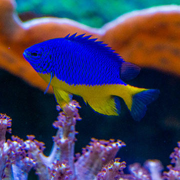 Fish-Yellowbanded-cichlid.jpg