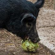 Guinea hog.jpg