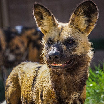 African-Painted-dog.jpg