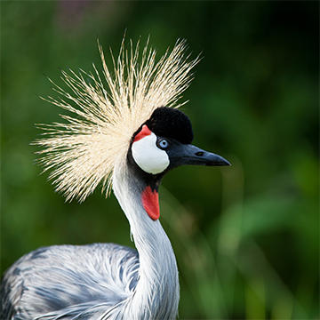 Grey crowned-crane.jpg