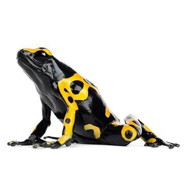Yellow headed poison frog.jpg