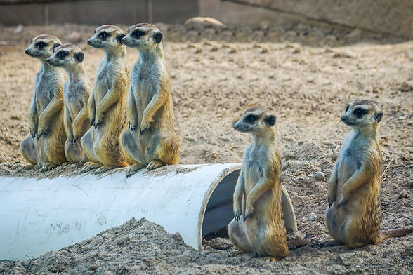 meerkat-family-2019-ashley-bowen-WEB.jpg