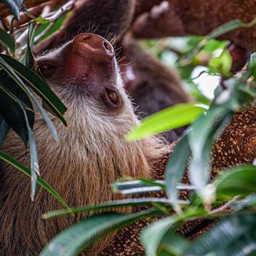 Hoffman's-two-toed-sloth.jpg