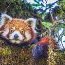 red-panda-wild.jpg