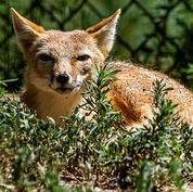 Swift-fox.jpg