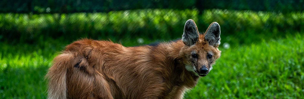 Maned-Wolf_edited.jpg