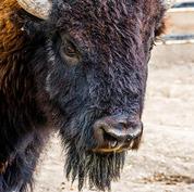 American-Bison.jpg