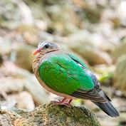 Grey capped emerald dove.jpg