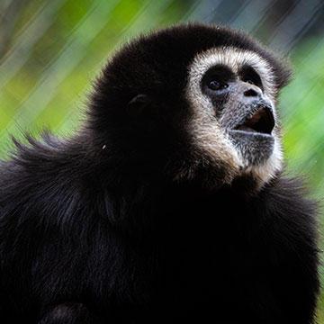 Lar-gibbon.jpg
