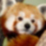 Panda, Red MO.jpg