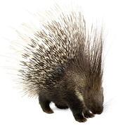 African crested porcupine.jpg
