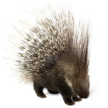 Cape-Porcupine.jpg