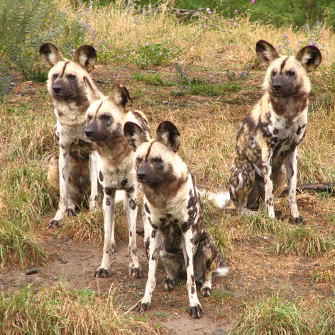 African painted dogs  conservation