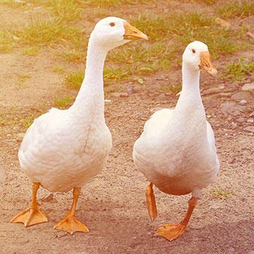 Embden-Geese.jpg