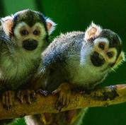 Guianan squirrel monkey.jpg