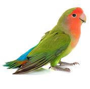 Peach-faced lovebird.JPG