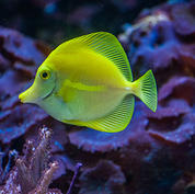 Fish-Yellow-Tang.jpg