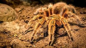 Brown tarantula.jpg