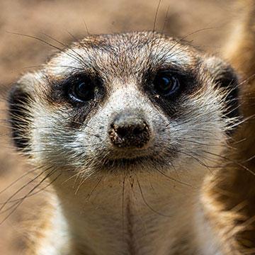 Slender-tailed-meerkat.jpg