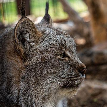 Canada-lynx.jpg