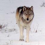 wolf-web.jpg