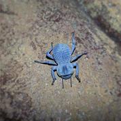 Blue-Death-Feigning-Beetle.jpg