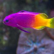 Fish-Fairy-basslet.jpg