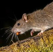 Brown-rat.jpg